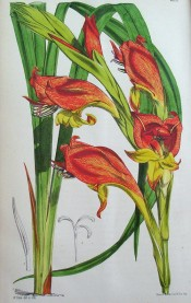 Figured are leaves and a spike of hooded, funnel-shaped red and yellow flowers.  Curtis's Botanical Magazine t.6202, 1875.