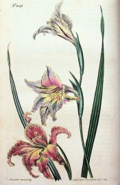 Figured are leaves and reddish-blue flowers with yellow markings on the lower lip.  Curtis's Botanical Magazine t.1042, 1807.