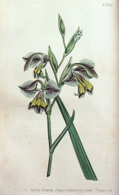 Figured are leaf and greenish-grey flowers with yellow markings on the lower lip.  Curtis's Botanical Magazine t.688, 1803.
