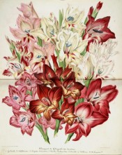 Figured are eight varieties of gladiolus in shades of red, pink and white.  Illustration Horticole p.154 Vol.4, 1857.