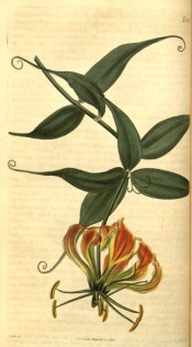 Figured are lance-shaped leaves with terminal tendrils and red and yellow flowers.  Curtis's Botanical Magazine t.2539, 1825.
