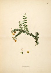Figured is a gorse-like spiny shoot with ovate leaves and small yellow flowers.  Roxburgh pl.162, 1795-19.