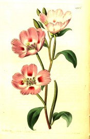 The image shows deep pink cup-shaped flowers with red marking at the base of the petals.  Botanical Register f.1405, 1831.