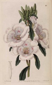 Illustrated are the oblong leaves and saucer-shaped white flowers marked with red.  Botanical Register f.61, 1842.