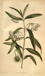 Illustrated are lance-shaped leaves and clusters of cup-shaped, creamy-white flowers.  Curtis's Botanical Magazine t.1628, 1814.
