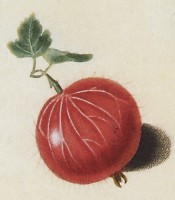 The gooseberry illustrated is round, hairy and red-skinned. Pomona Britannica pl.6, 1812.