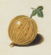 The gooseberry illustrated is round, hairy and yellow-skinned. Pomona Britannica pl.6, 1812.