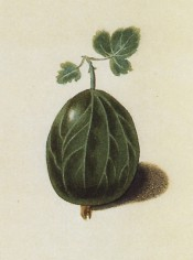 The gooseberry illustrated is oval, smooth-skinned and green. Pomona Britannica pl.6, 1812.