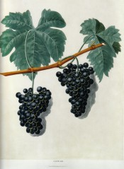 The grape figured is black with small berries. Pomona Brittanica pl.59, 1812.