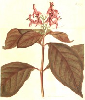 Figured are purple-suffused leaves and terminal raceme of pale crimson flowers.  Curtis's Botanical Magazine BM t.1870, 1816.