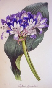 The image shows the broad, latticed leaf and umbel of white, blue-edged flowers.  Paxton's Magazine of Botany p.171, 1845.