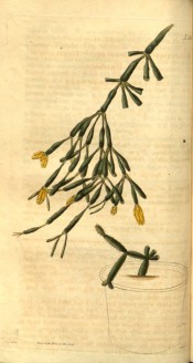 Figured is a cactus with pendant, club-shaped segments and terminal yellow flowers.  Curtis's Botanical Magazine t.2461, 1824.