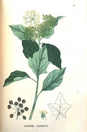 Illustrated are entire ovate leaves, rounded panicles of white flowers and brown seeds.  Saint-Hilaire Tr. pl.99, 1825.
