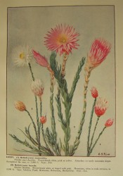 Figured are two species of everlasting daisy with white or pink flowers.  Rice pl.LXXXV.