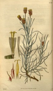 Shown are branched stem, linear leaves and daisy-like flowers with yellow florets.  Curtis's Botanical Magazine t.2710, 1827.
