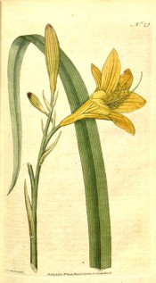 Figured is a lance-shaped leaf and lemon-yellow, widely trumpet-shaped flower.  Curtis's botanical Magazine t.19, 1787.