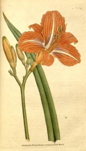 Illustrated are a lance-shaped leaf and trumpet-shaped orange-brown flowers.  Curtis's Botanical Magazine t.64, 1790.