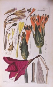 The figure is a line drawing showing several bulbs including a flower of Cobughia splendens.  Herbert plate 47, 1837.