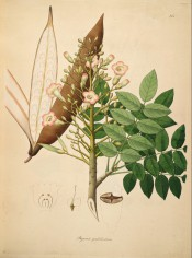 Figured are pinnate leaves, terminal spike of pink flowers and large seed pod.  Roxburgh vol.2, t.145/1795-1819.