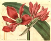 Illustrated is umbel with two funnel-shaped, crimson flowers with green throats.  Curtis's Botanical Magazine t.3311, 1834.