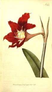 Shown are part of a leaf and a bright red, funnel-shaped flower with paler throat.  Curtis's Botanical Magazine t.305, 1795.