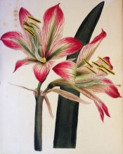 The trumpet-shaped flowers have spreading lobes, striped crimson with a green keel.  Loddiges Botanical Cabinet no.1204, 1828.