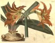 Illustrated are bulb, leaves and orange, funnel-shaped flowers.  Curtis's Botanical Magazine t.2273, 1821.
