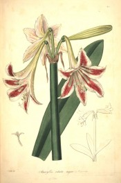 illustrated are the trumpet-shaped flowers, white, striped red with a green back.  Collectanea Botanica t.12,1821.