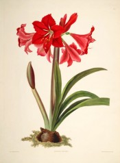 The illustration shows a bulb, strap-like leaves and umbel of bright red trumpet-shaped flowers.  Bury pl.1, 1831-34.
