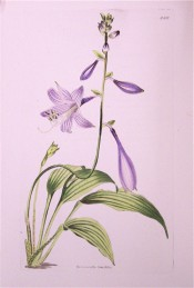 Figured are lance-shaped leaves and narrowly funnel-shaped deep purple flowers.  Loddiges Botanical Cabinet no.1658/1832.