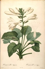 Figured are heart-shaped leaves and trumpet-shaped, long-tubed white flowers.  Redout? Liliac?es pl.3, 1802-1815.
