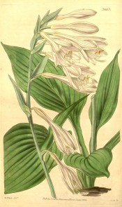 Figured are ovate leaves and spike of pale lilac bell-shaped flowers.  Curtis's Botanical Magazine t.3663/1838.