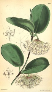 Illustrated are the elliptic, fleshy leaves and umbels of star-shaped white flowers.  Curtis's Botanic Magazine t.5820, 1870.
