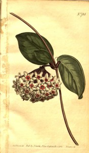 Figured are paired ovate leaves and umbel of star-shaped white flowers with red centre. Curtis's Botanical Magazine t.788, 1804.