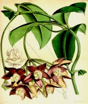 Figured are elliptic leaves and umbels of star-shaped, white-centred reddish flowers.  Curtis's Botanical Magazine t.4397, 1848.