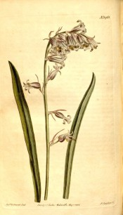 Figured are lance-shaped leaves and one-sided raceme of pink bell-shaped flowers.  Curtis's Botanical Magazine t.1461, 1812.