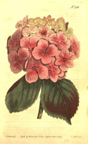 Figured are ovate, toothed leaves and spherical corymb of single pink flowers.  Curtis's Botanical Magazine t.438, 1799.