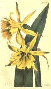Illustrated are leaves and bright yellow, daffodil-like flowers.  Curtis's Botanical Magazine t.1224/1809.