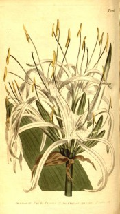 Shown are part of a leaf and white flowers with shallow cup and long, narrow segments.  Curtis's Botanical Magazine t.826, 1805.