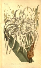 Shown are part of a leaf and white flowers with shallow cup and long, narrow segments.  Curtis's Botanical Magazine t.825, 1805.