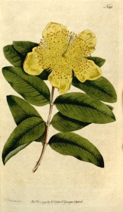 Illustrated are the oblong leaves and a saucer-shaped, bright yellow flower.  Curtis's Botanical Magazine t.146, 1791.