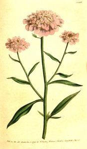 The image shows lance-shaped leaves and compact umbels of pale pink flowers.  Curtis's Botanical Magazine t.106, 1790.