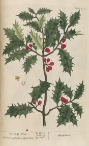 Illustrated are the glossy, dark green, spiny leaves, and red berries.  Blackwell pl.205, 1737.