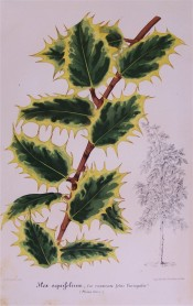 Shown are deep green, shading to pale green, yellow-margined, spiny leaves.  Illustration Horticole pl.222, 1859.