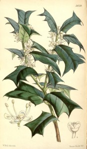 Illustrated are the dark green leaves with prominent spines, and white flowers.  Curtis's Botanical Magazine t.5059, 1858.