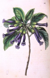Figured are ovate leaves and terminal cyme of narrow, tubular deep purple flowers.  Botanical Register f.20, 1845.