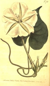 Illustrated are heart-shaped leaves and trumpet-shaped white flowers.  Curtis's Botanical Magazine t.752, 1804.