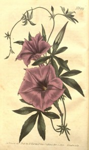 Figured are palmate leaves and funnel-shaped purple flowers.  Curtis's Botanical Magazine t.699, 1803.