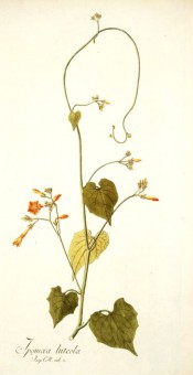 Illustrated are the heart shaped leaves and orange-yellow flowers.  Jacq. IPR pl.35/1791-1793.