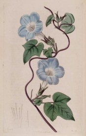 Figured are cordate, 3-lobed leaves and pale blue, trumpet-shaped flowers.  Botanical Register f.276, 1818.